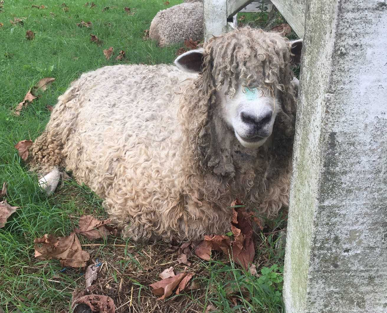 A sheep at Colonial Williamsburg represents the millions of animals that Supermeat could save lives.