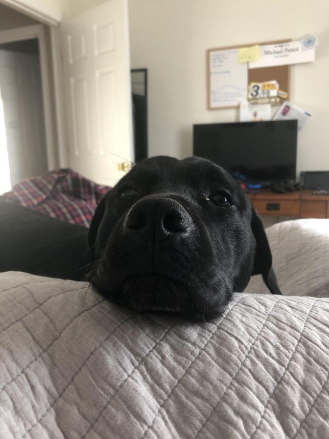 Even when you are laying in bed your companions will want to be with you. Bowie was craving for attention in the middle of an afternoon nap. He always loves to get in extra pets and snuggles when his jealous sister isn't around. Don't think you can get away with just giving one dog attention.