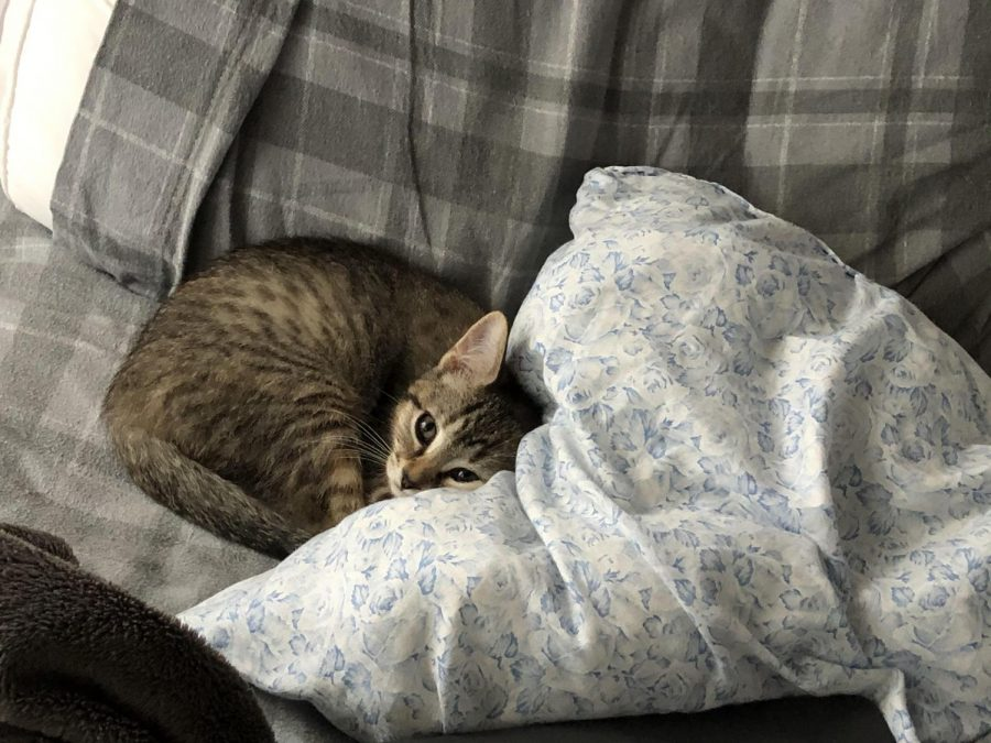 Percy, at two months, cuddles into a pillow.  Used to cuddling with her brother, she feels cold and cant fall asleep.  Every once in a while, youll hear her meow as a call to him to nap with her.