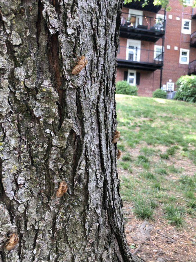 Empty 2021 cicada shells just shed onto a tree.