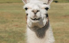 Happy to help. Will llamas be the answer to this everlasting pandemic?
